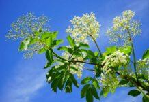 Edible garden weeds elderflowers