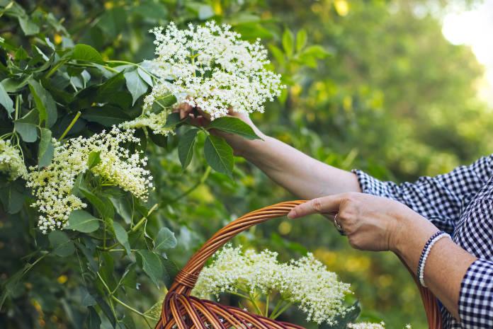 Woman harvesting edible elderberry flowers to wicker basket, collect flowers for alternative medicine