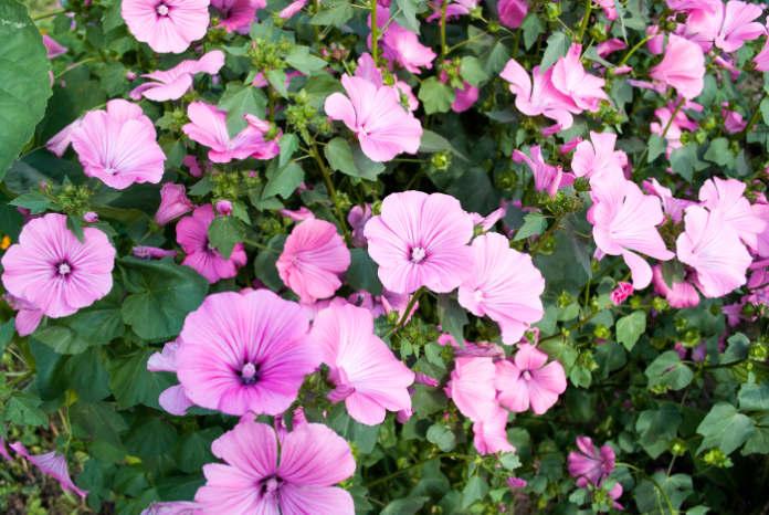 Annual Rose mallows growing in summer garden.