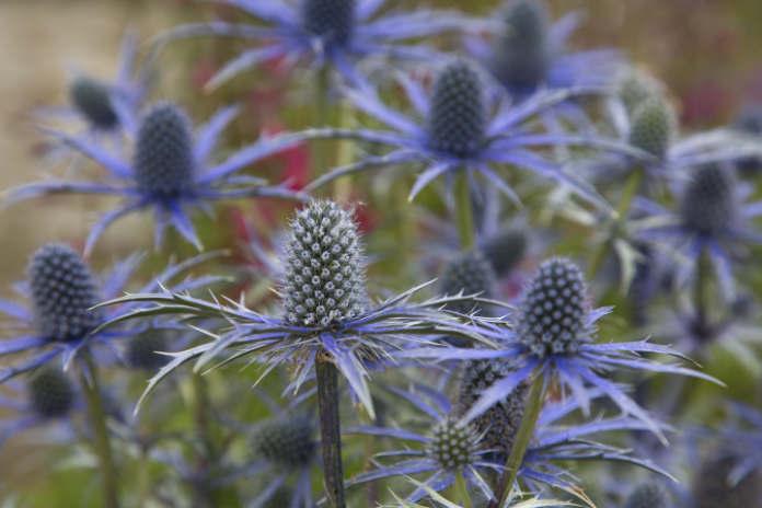 Purple thistle The Alpine Sea Holly
