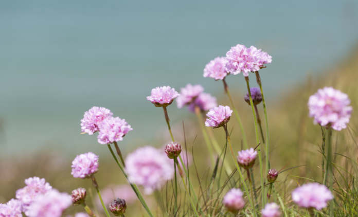 Close up of light pink Thrift flowers in grass with blue sea in
