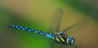 Migrant Hawker dragonfly