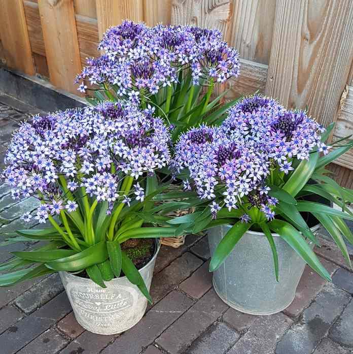 Scilla peruviana 'Sapphire Blue', bulbs to plant in autumn