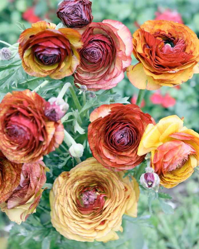 Ranunculus 'Picotee Cafe', bulbs to plant in autumn