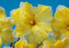 A collection of yellow bulbs to plant in autumn