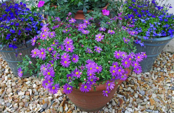 A potted, purple plant - an example of a good bedding plant for autumn