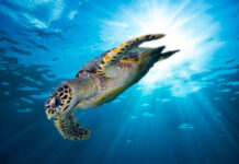A sea turtle enjoying life due to an effort to reduce plastic waste