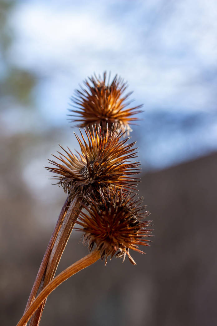 Macro view of dry purple coneflower (echinacea purpurea) wildflower seed heads (cones) in a sunny late autumn garden, with defocused background.