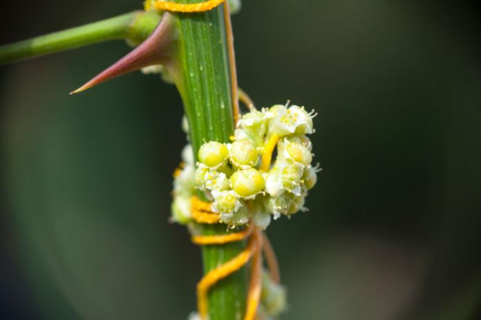 Poisonous garden plants- Dodder
