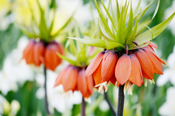 The crown imperial smells weird (Thinkstock/PA)