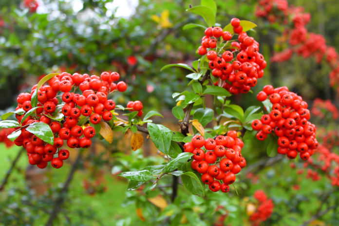 Dangerous plants- Rowan berries were said to ward off evil (Thinkstock/PA)