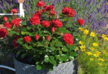 Rosa 'Precious Ruby' in a pot (Whartons Garden Roses/PA)