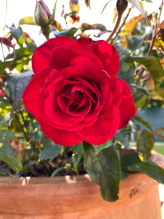 The Captain Tom rose (Harkness Roses/PA)
