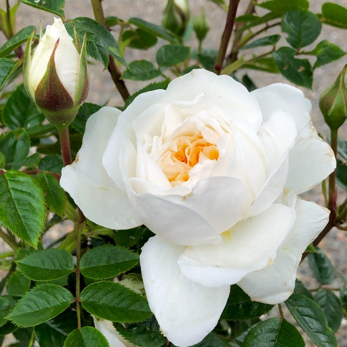 The white Rosa 'With Love' (Country Garden Roses/PA)