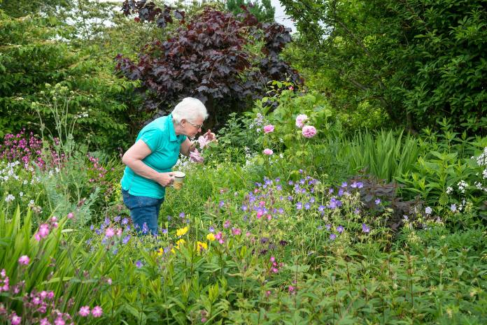 World gratitude day- Mature lady smells roses in an English country garden