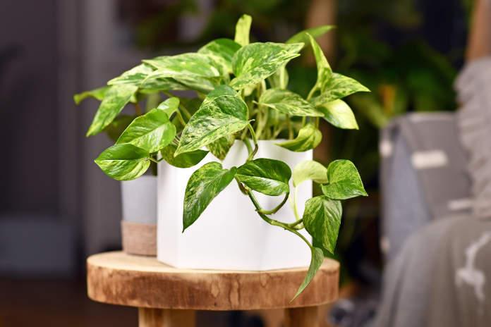 Best office plants - golden pothos (Epipremnum Aureum Marble Queen)