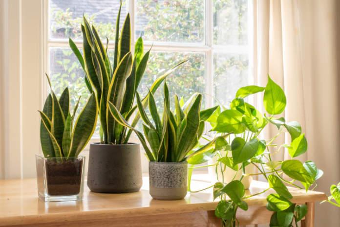 Best office plants - snake plant