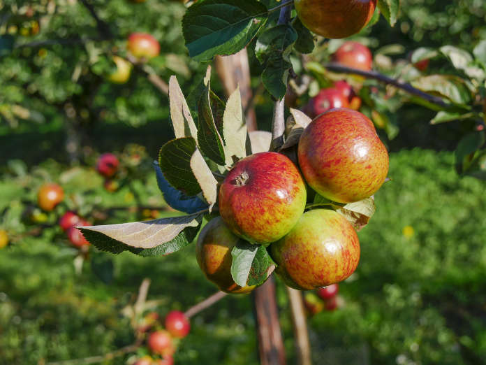 Apples in the orchard at Ardress House, County Armagh, NI