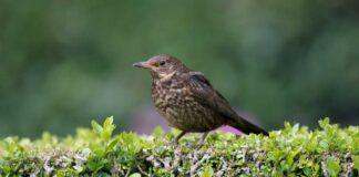 Wildlife hedge A blackbird on a garden hedge