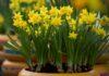 Choosing the right daffodil