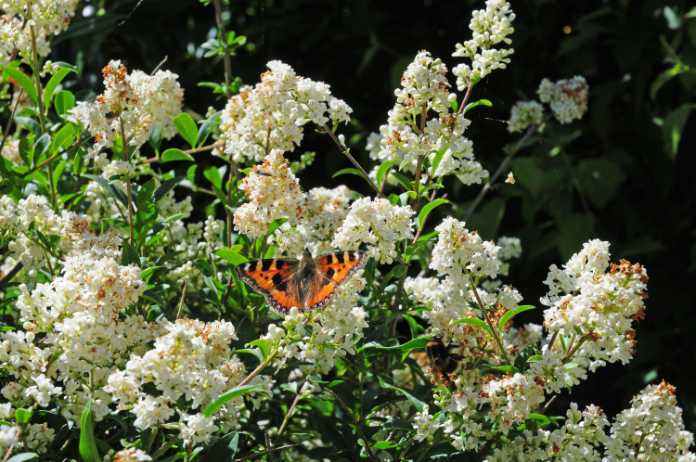 Butterflies are attracted to privet flowers